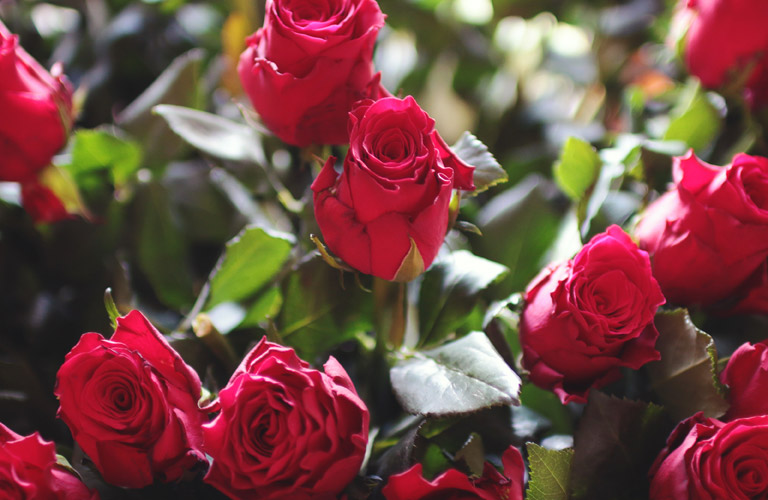 Bouquet of Red Roses on Valentine's Day